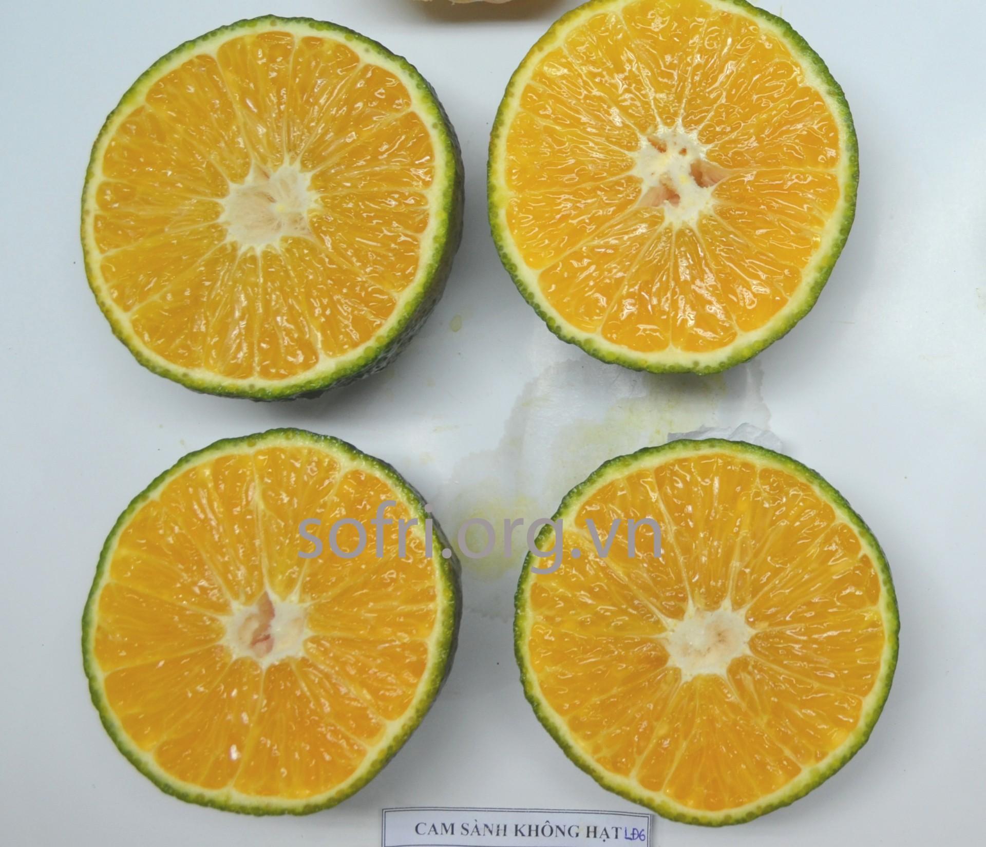 Giống cam Sành không hạt LĐ6